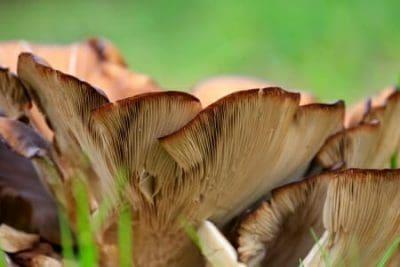 I funghi pleurotus
