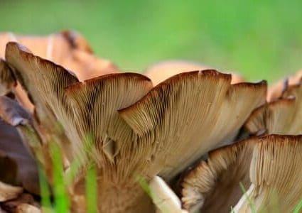 fungo pleurotus